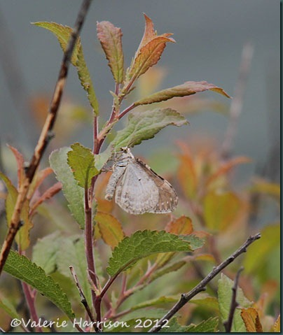 37-moth