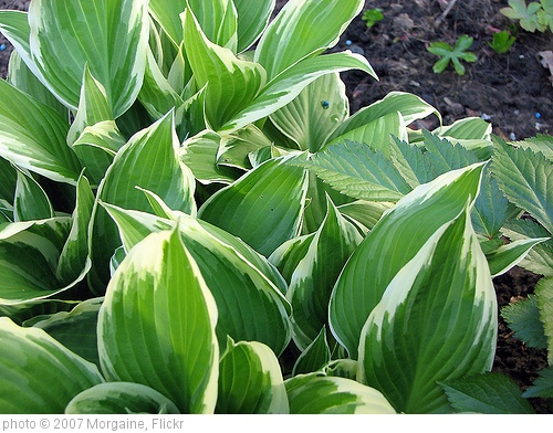 'Hosta' photo (c) 2007, Morgaine - license: http://creativecommons.org/licenses/by-sa/2.0/