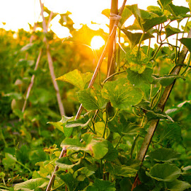 Sunset in melon garden by Nanang Setiawan - Nature Up Close Gardens & Produce