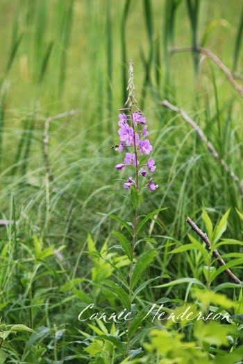 Fireweed July