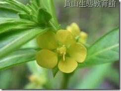 有5枚花瓣的假柳葉菜