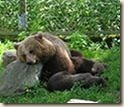 Tired_brown_bear