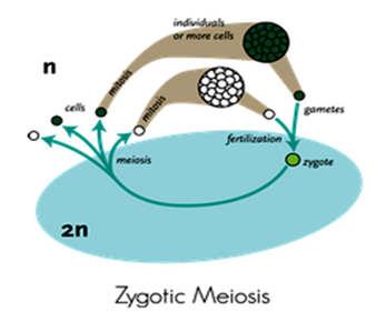 Zygotic meiosis in algae
