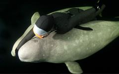 Natalia começou nadando ao lado das baleias-brancas, também conhecidas como belugas, trajando uma roupa de mergulho que protege contra o frio de -2ºC e em seguida, passou a nadar de biquíni / Viktor Lyagushkin