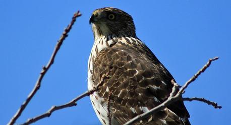 Mission Texas Hawk