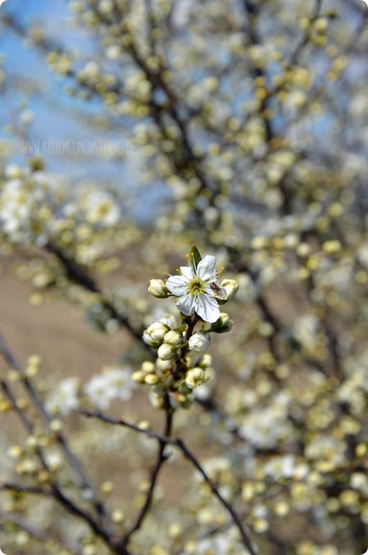 Kirschblüten (01) am Rhein zum kleinen Dienstag