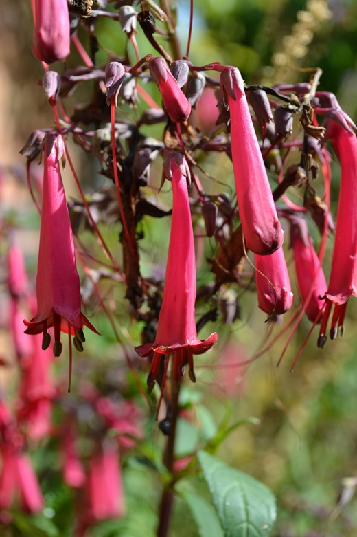 Cape fuchsia - Latin name Phygelius