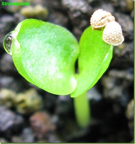 Moraceae seedling dorsenia