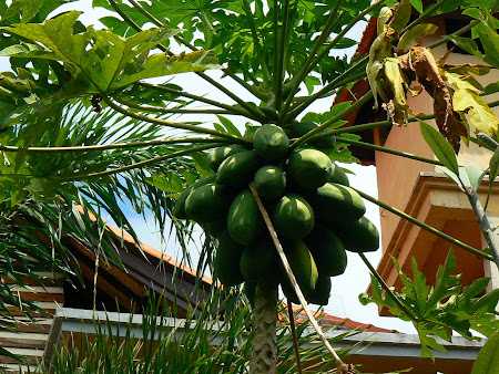 Papaya fruits in Ubud