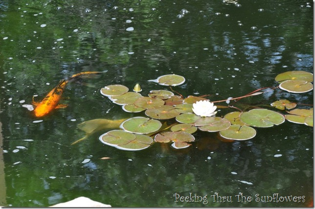 water lily 2013 004