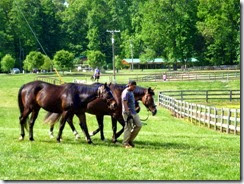Stable horses at Tanglewood Park