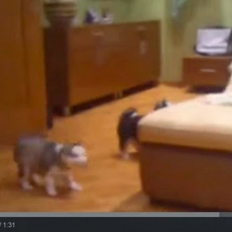 Husky παίζει με τα παιδιά της