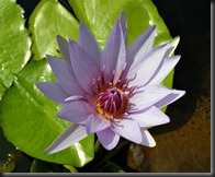 LAVENDER WATER LILY 6