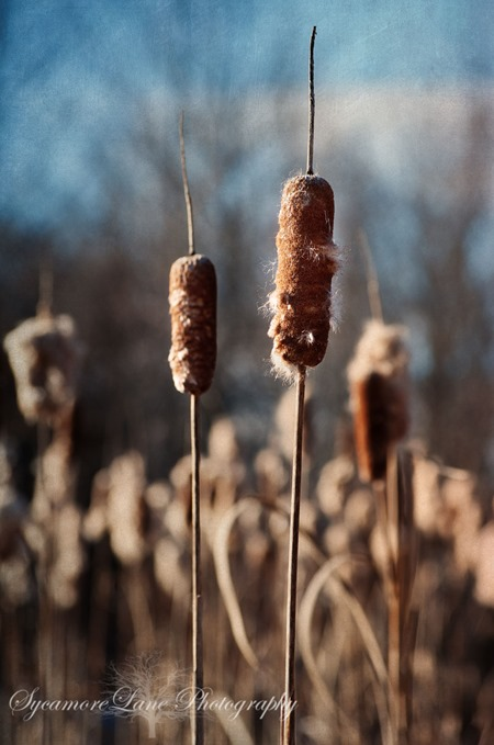 cat tails-w-SycamoreLane Photography