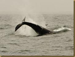 Humpback tail breach MSB_7365 NIKON D300S June 12, 2011