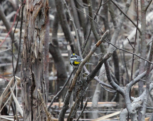Yellow-rumped Warbler in a bog - stunning plumage