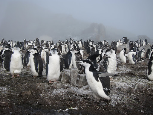 Half Moon Island's resident Chinstrap Penguin colony.