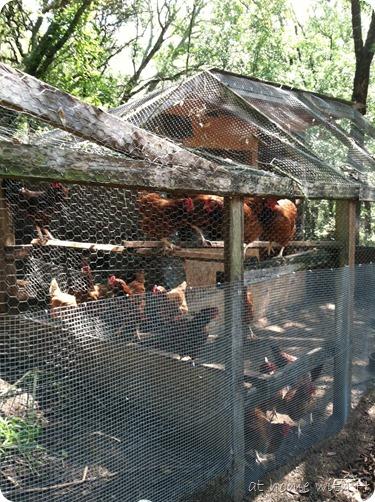chickens1_athomewithh