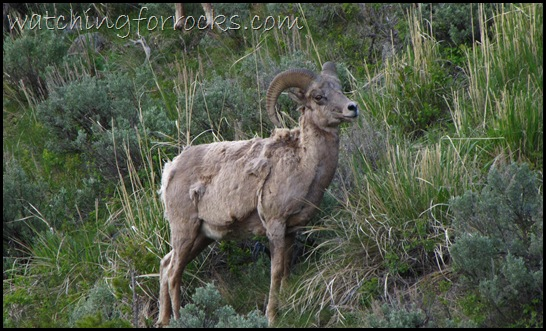 IMG_1767Bighorn Sheep