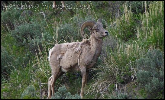 IMG_1767Bighorn Sheep