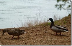 Friendly mallards at our site