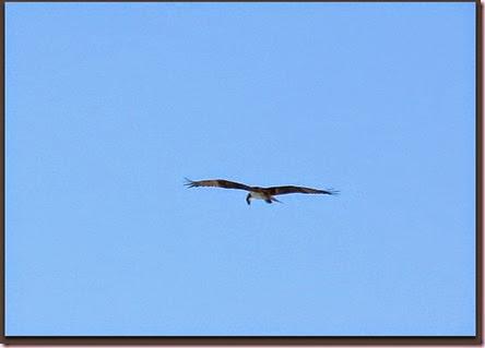ospreyIMG_9391
