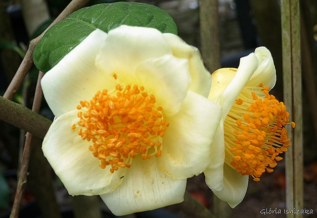 Camélia amarela - Glória Ishizaka - Quinta Vilar de Matos 1