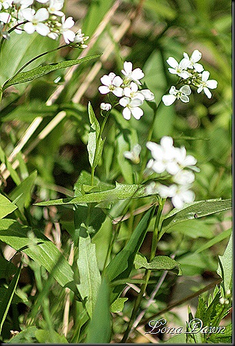 OMC_Lyre_Leaved_RockCress