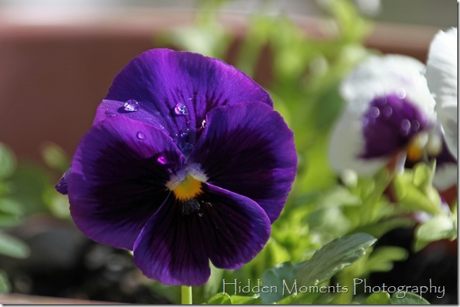Morning Pansy Dew 4