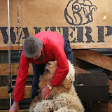 Getting Ready to Shear the Sheep -- Queenstown, New Zealand