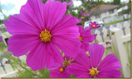 cosmos cropped