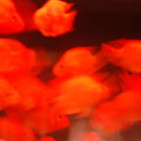Shanghai - Pets market - Poissons in motion rouge