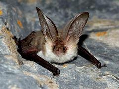 morcego (1)