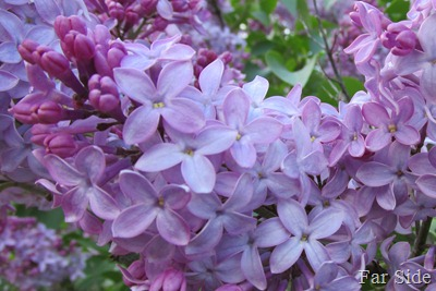 Lilacs almost done