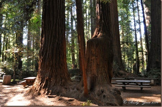 10-01-14 Henry Cowell St Park CA 35