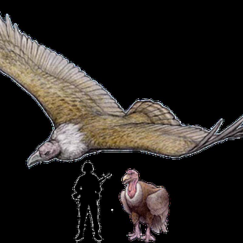 Argentavis is the largest flying bird ever discovered.