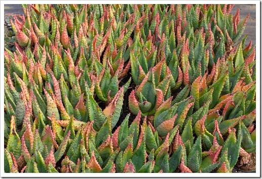 120929_SucculentGardens_Aloe-marlothii_02