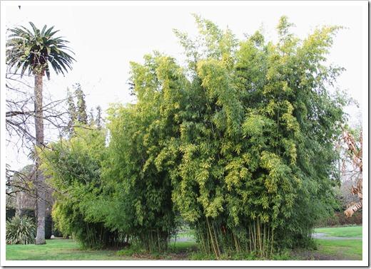 120317_Capitol_Park_Phyllostachys-bambusoides_02