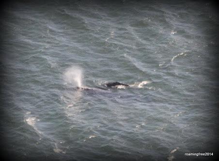 Whale spouting
