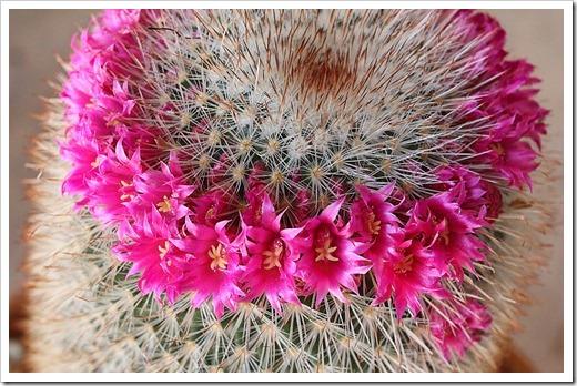 120512_Mammillaria-spinosissima_04