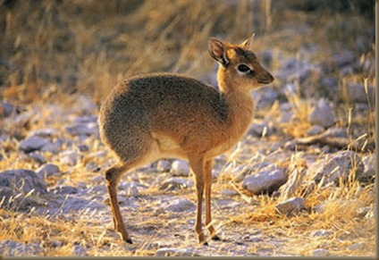 philippine-mouse-deer