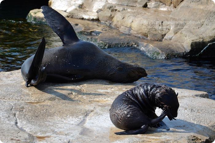 Wremen 29.07.14 Zoo am Meer Bremerhaven 18 Seelöwen