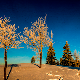 Trees Cover With Snow by Joseph Law - Nature Up Close Trees & Bushes ( up close, out door, blue sky, winter, nature, cold, snow, trees, cover with snow )