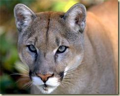 cougar[1]