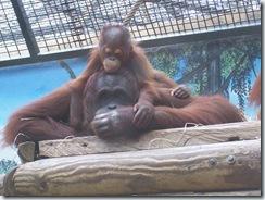 2011.07.26-057 orang-outan et son petit