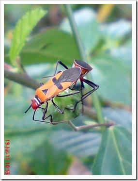 Dysdercus cingulatus Kawin