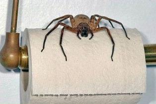 Toilet Paper Spider