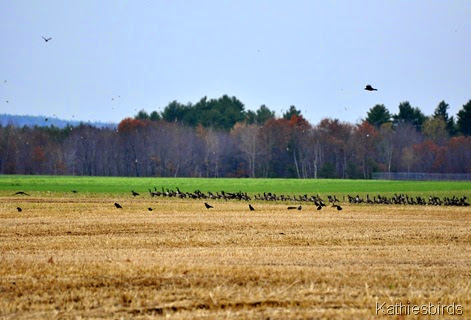 7. geese and crows-kab