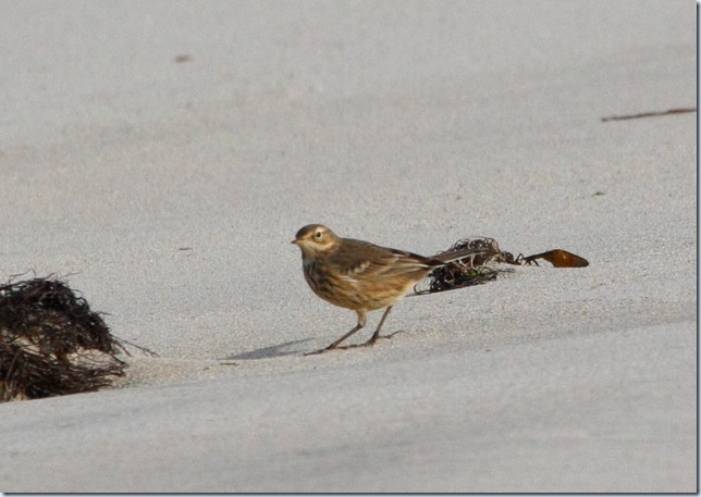 buff-bellied_pipit2
