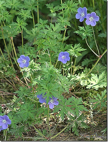 Geranium_Rozanne_May12